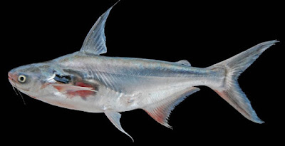 Jenis Umpan Jitu Mancing Ikan Patin Danau Yang Sudah Terbukti Hasilnya
