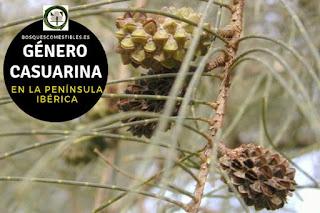 El género Casuarina árboles que se confunden con las coníferas por presentar una infrutescencia parecida a una piña