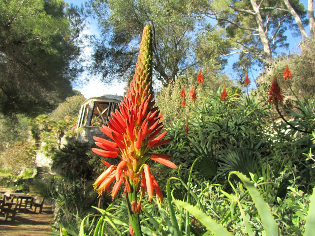 Infiorescenza e Fiori Aloe Arborescens