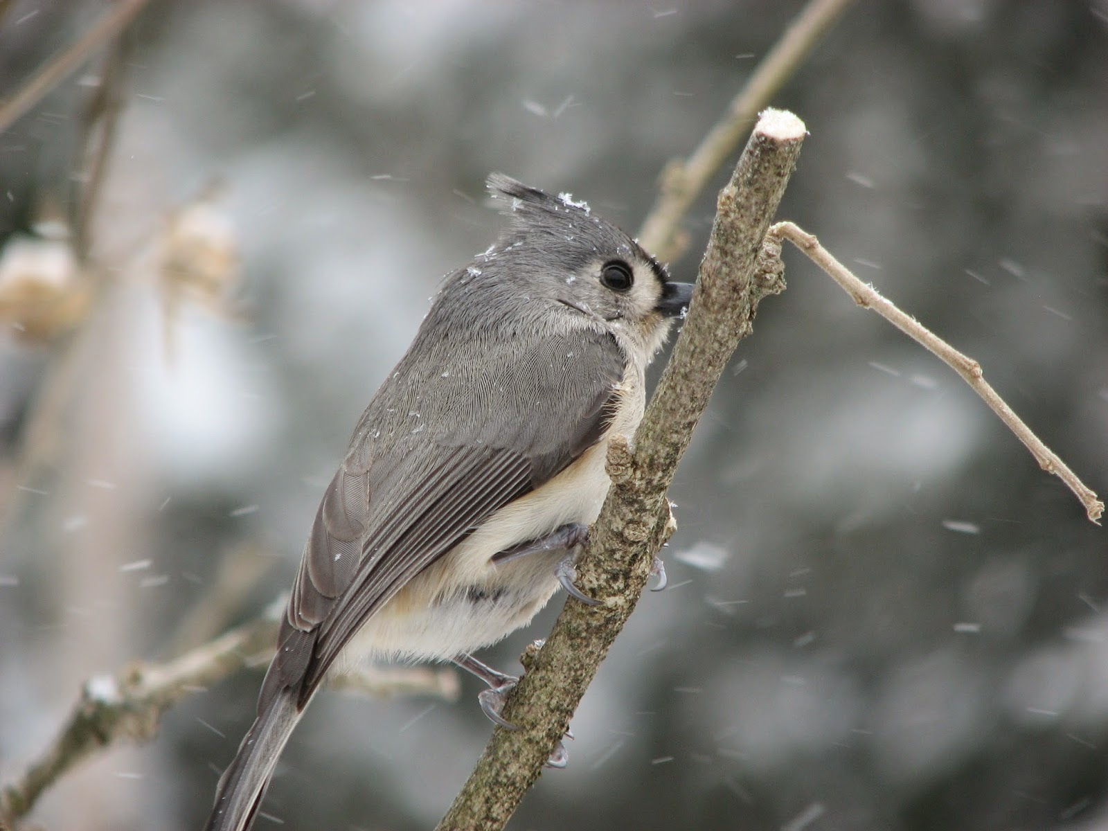 south burlington birds tufted titmouse photos south burlington