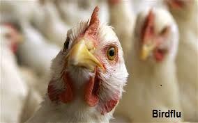 2017/2018  Best Ways to Prevent and Avoid Avian Influenza (Bird Flu) in Nigeria