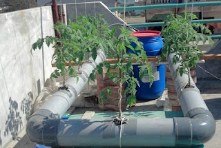 cara menanam cabe rawit halaman rumah,cara menanam cabe rawit dari biji,cara menanam cabe rawit di polybag,cara menanam cabe rawit secara organik,cara menanam cabe hidroponik dalam botol,