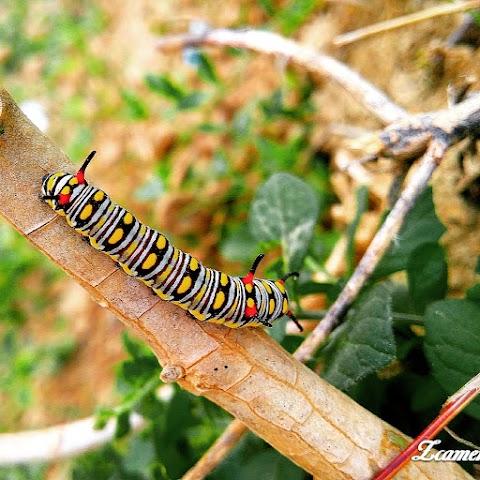 Best Hd Caterpillar Iage wallpaper