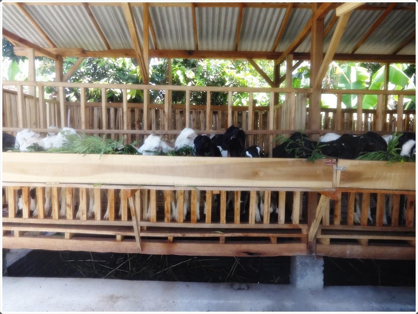 gambar 3 peternakan kambing etawa di lumajang