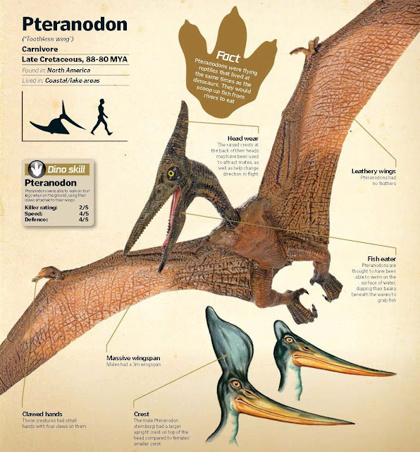 Pteranodon ('Toothless wing') Carnivore, Late Cretaceous, 88-80 MYA, Found in: North America, Lived in: Coastal/lake areas. Dino skill: Pteranodons were able to walk on four legs when on the ground, using their claws attached to their wings. Pteranodon Killer rating: 2/5, Speed: 4/5, Defence: 4/5. Crest The male Pteranodon sternbergi had a larger upright crest on top of the head compared to females' smaller crest. Clawed hands These creatures had small hands with four claws on them. Massive wingspan Males had a 3m wingspan. Head wear The raised crests at the back of their heads may have been used to attract mates, as well as help change direction in flight. Fish eater Pteranodons are thought to have been able to swim on the surface of water, dipping their beaks beneath the waves to grab fish.Leathery wings Pteranodons had no feathers