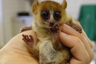 Os lêmures podem ir dos 30 gramas aos 10 kg. As maiores espécies, algumas das quais pesavam mais de 240 kg, extinguiram-se desde que os humanos se estabeleceram em Madagáscar.