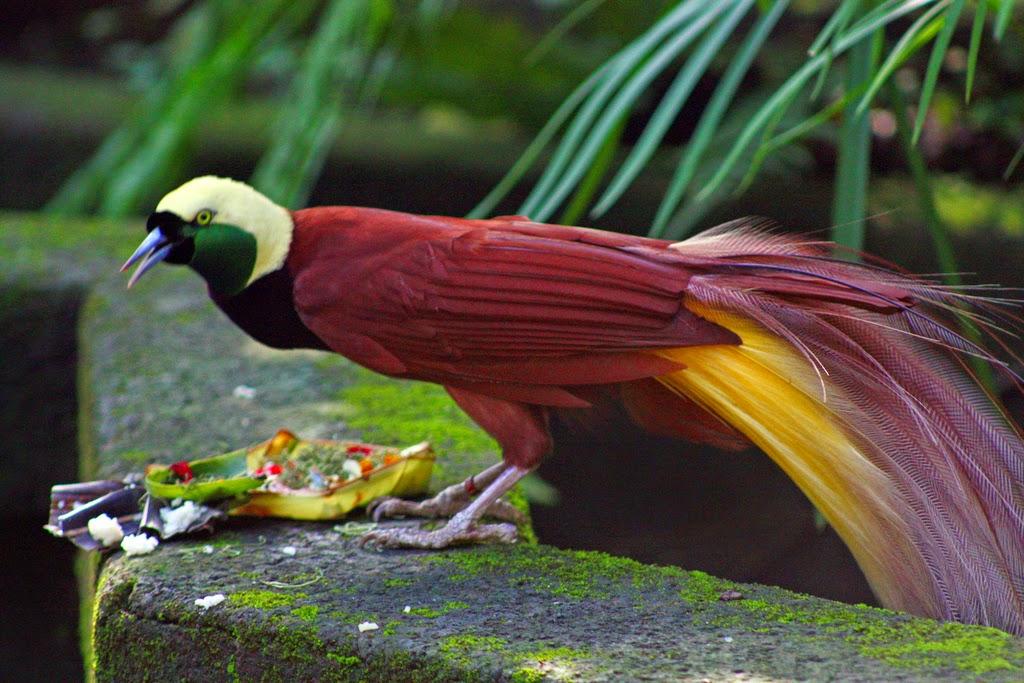 foto cendrawasih lesser bird of paradise, burung tercantik