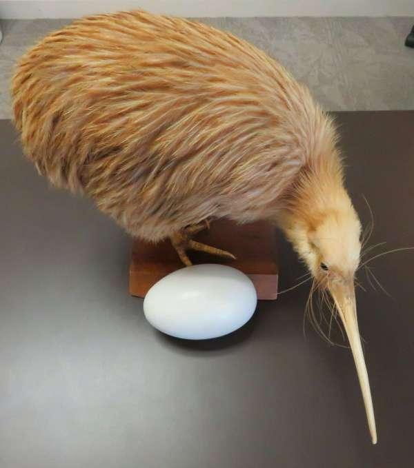 Kiwi and kiwi egg
