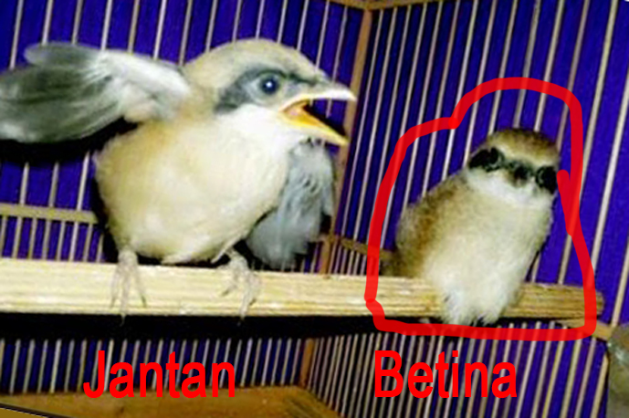 Tips Membedakan Anakan Burung Cendet Jantan Atau Betina Tips Burung Kicau