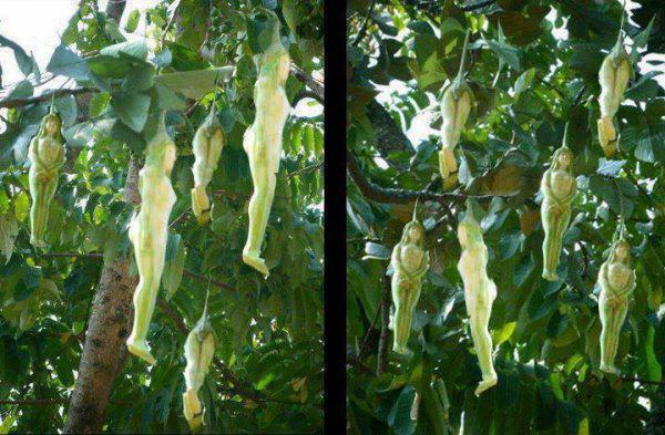 Fleeceflower Plant With Its Human Shaped Fruits [Video]
