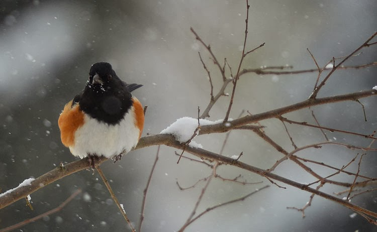 A towhee sitting on a snow-covered branch while snowflakes fall all around has puffed up his feathers for insulation. He's warm and comfortable!