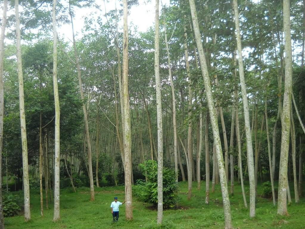 Untung Lumayan Tanam Pokok Sengon (Kayu Balak)