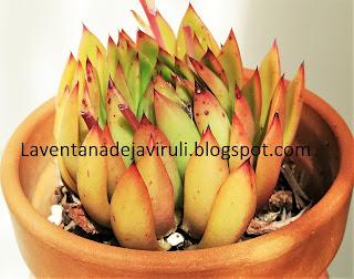 roseta-echeveria-agavoides-x-echeveria-colorata
