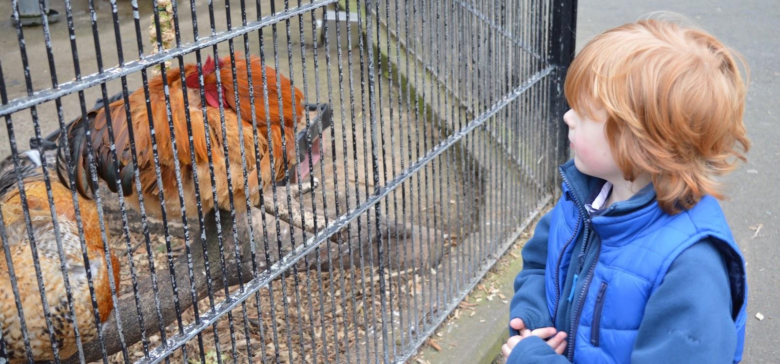 Saltwell Park Pet's Corner - chickens
