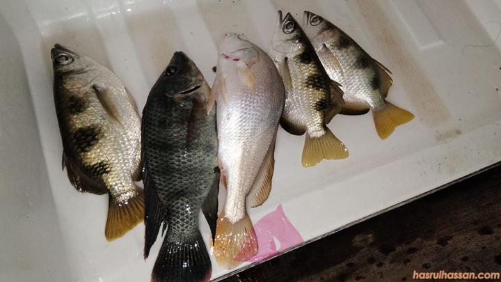 Ikan-ikan chalet Amir, Kampung Baru