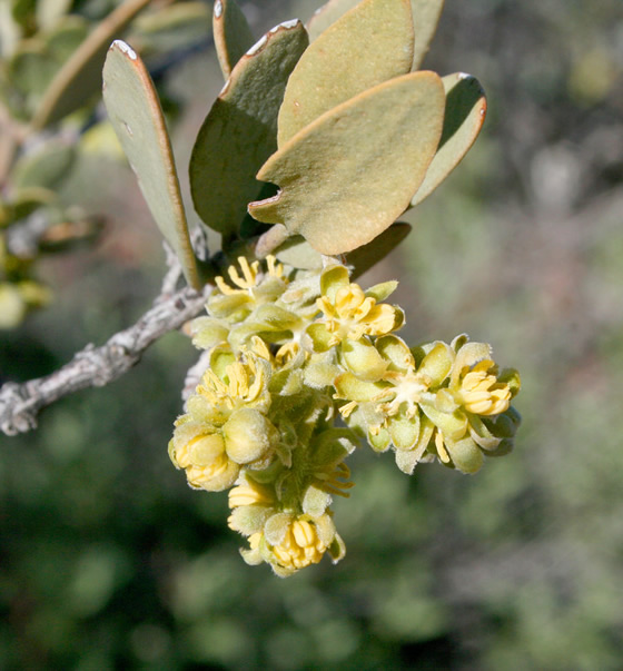 male flower on a jojoba shrub