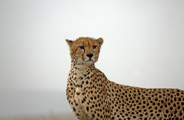 Buy prints of a Cheetah in the Serengeti.