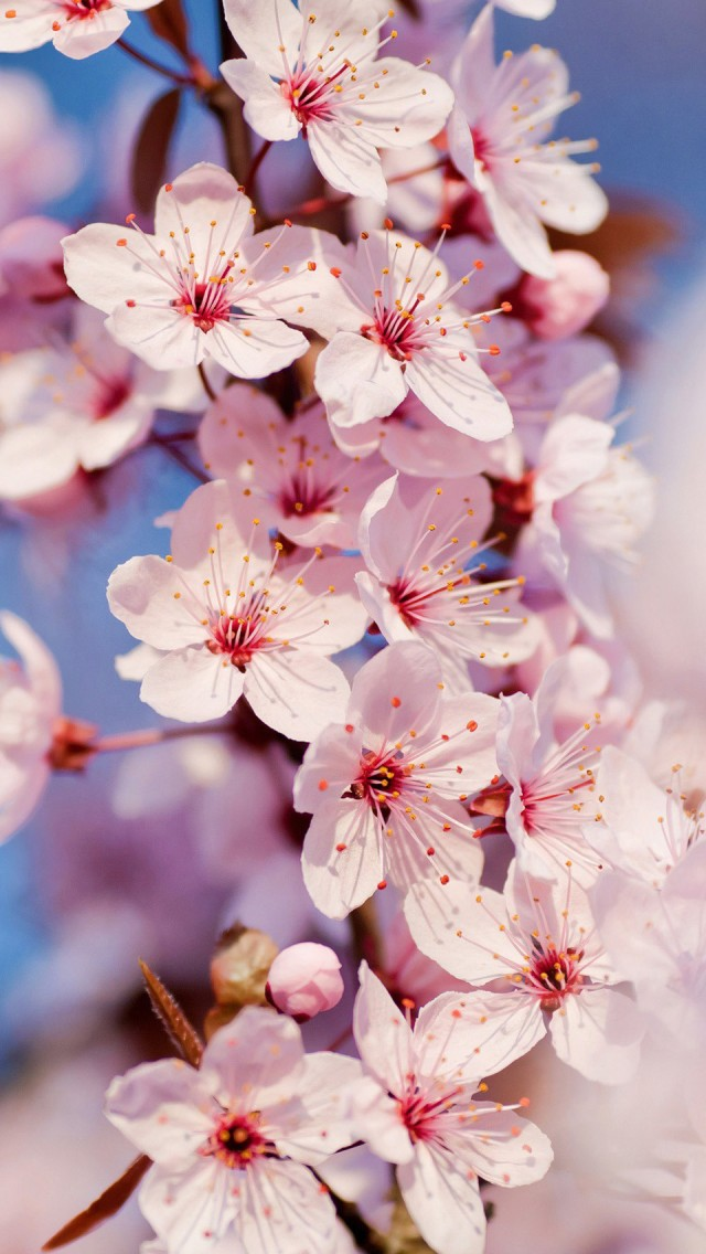 Cherry Blossom iPhone 5 Wallpaper | iPhone 5 Wallpapers ...