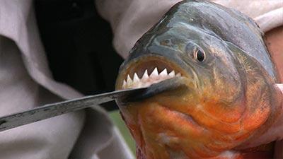 Ikan Yang Sangat Mematikan