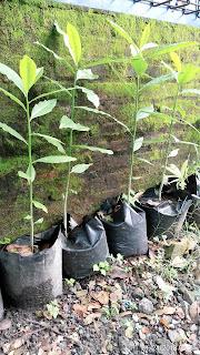 Bibit Pohon Bintaro 60-100cm