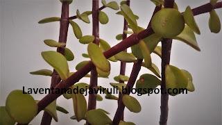 hojas-portulacaria-afra