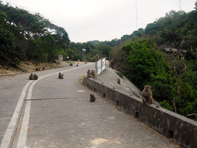 Monkeys all over Golden Hill Road, at the end of Monkey Mountain hike, New Territories, Hong Kong