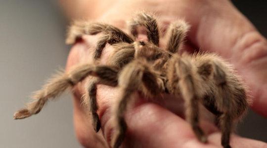 باحثون يكشفون عن بروتين في سُم العنكبوت يعالج مرض ضمور العضلات