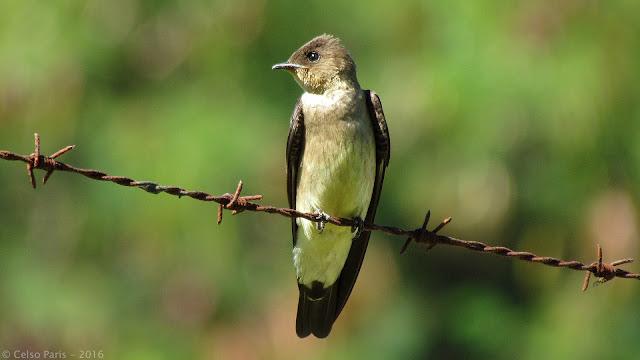 Southern Roughwing Swallow Stelgidopteryx ruficollis ruficollis Andorinha-serradora Golondrina Ribereña