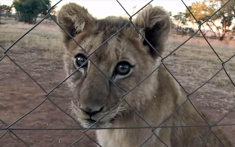 cria de leão dentro de um recinto fechado com uma vedação