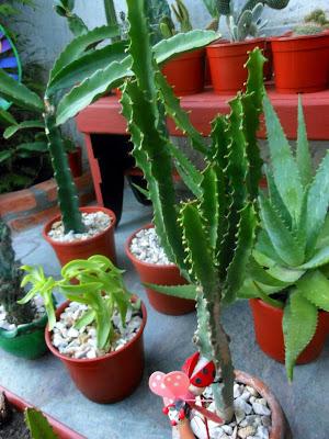 Entre p talos y espinas c mo cuidar tus cactus for Cactus cuidados exterior