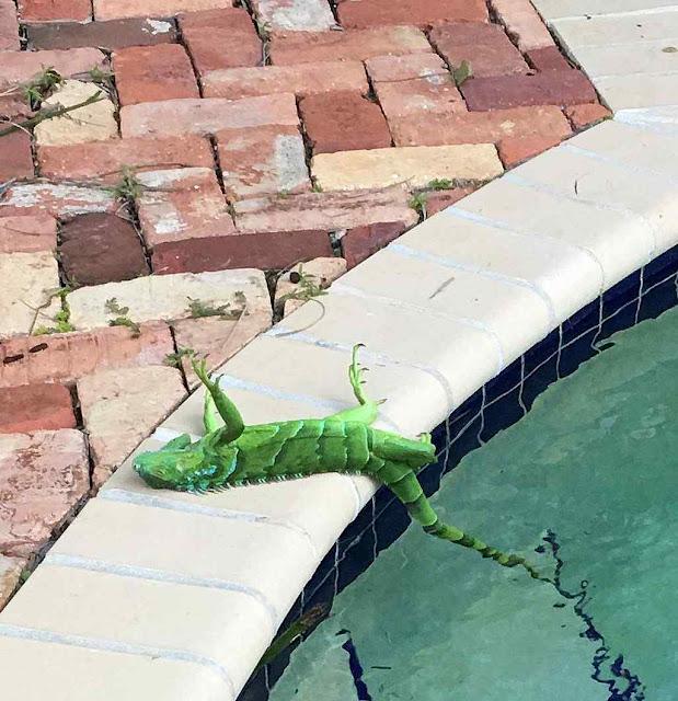 Iguana que caiu congelada no borde de uma piscina na Florida, foi reanimada.
