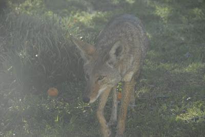 roaming coyote