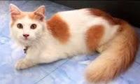 Sejarah dan Karakteristik Kucing Anggora