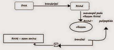 Biologi gonzaga soal biologi substansi genetika dan genetika diagram langkah sintesis protein bagian x pada diagram di atas adalah ccuart Image collections