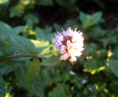 menta piperita cultivada en flor