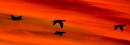 Aves migratorias de Península Valdés