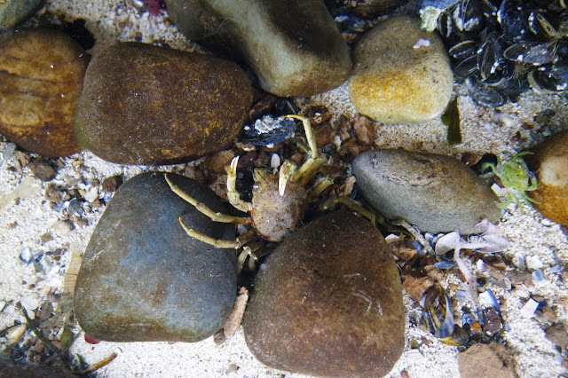 a birds eye view of a small green crab amongst some rocks in a pool