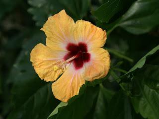 Hibiscus rosa-sinensis 'Bankok'