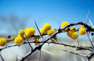 Gambar Bunga Akasia yang Indah 24