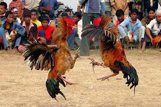Judi Adu Ayam di Depok