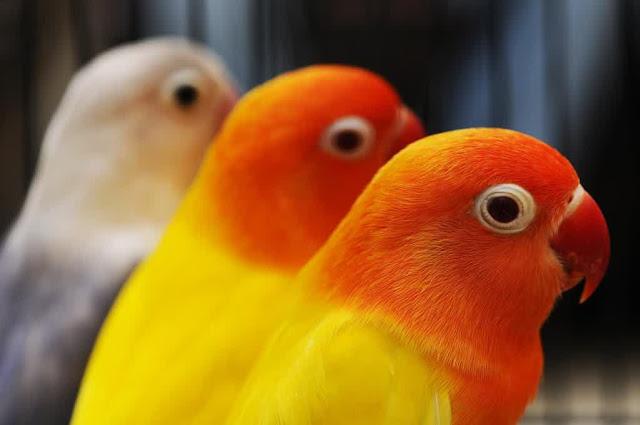 Tentang Burung  Lovebirds