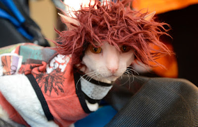 Brighton the Cornish Rex in red wig and tank top