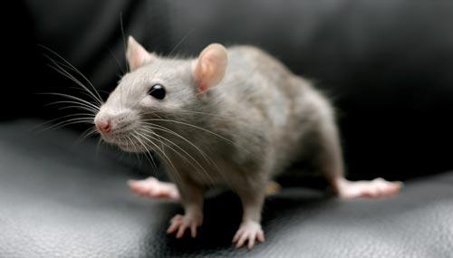 Tragis, Bayi Berusia 3 Bulan Kehilangan Nyawa Dimangsa Tikus Raksasa