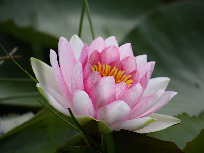 Wallpapers Water Lily Wallpapers
