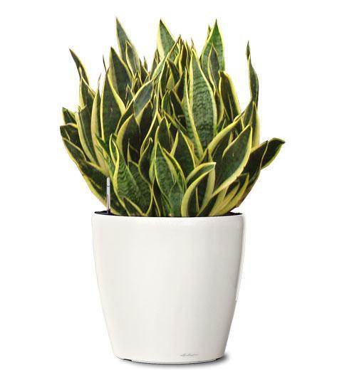 el potos es una planta de hoja dura ideal para planta colgante evitar temperaturas extremas muy bajas o muy altas entre los 10 y 25 grados - Plantas Verdes De Interior