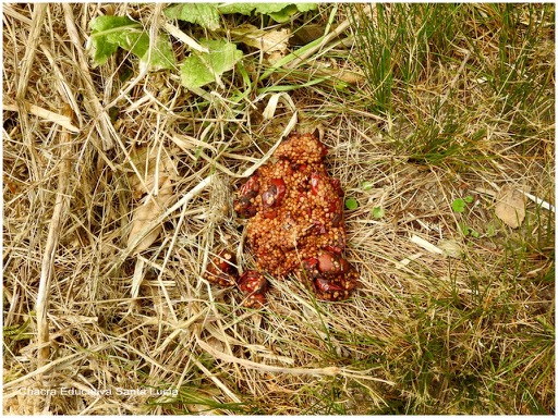 Posible excremento de zorro lleno de restos de arazá - Chacra Educativa Santa Lucía