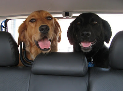 Two smiling dogs at the back of a car