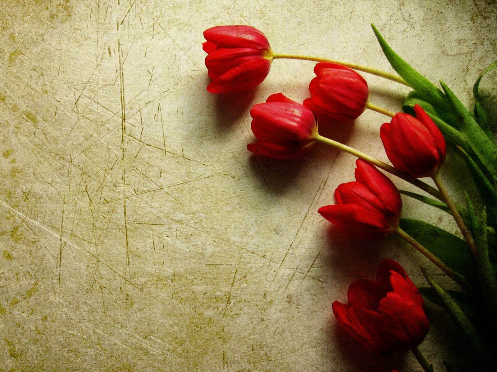 Funny Car Wallpapers Free Wallpapers Red Tulips Wallpapers