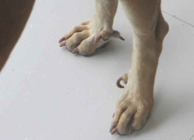 Когти у собаки, как у мутанта