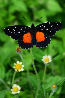 Butterfly with red marks on wings